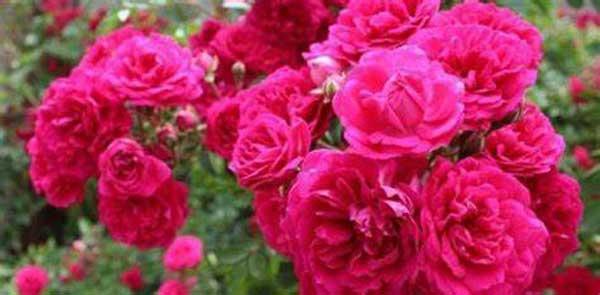 مصرف گل سرخ تنها برای بیماران آلزایمری