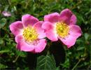 فواید درمانی بسیار زیاد گیاه نسترن را بشناسید
