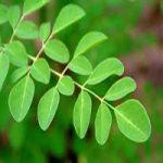 گیاه گز روغن یا مورینگا |قهرمان مبارزه با انواع سرطان ها!