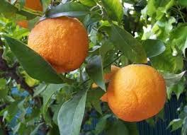 فواید آب نارنج