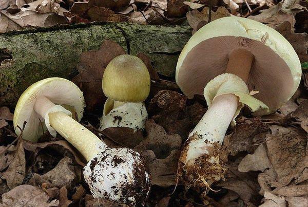 قارچ های خوراکی سمی