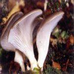 قارچ های خوراکی سمی را بشناسید تا نارسایی کبد و کلیه نگیرید! +علائم مسمومیت