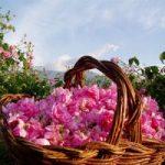 با خواص بی نظیر دارویی گل محمدی آشنا شوید