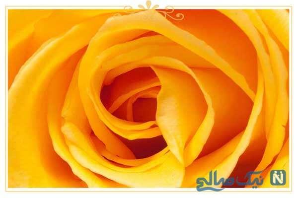 معنی رنگ انواع گل رز