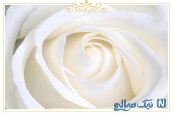 معنی گل رز سفید