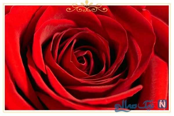 معنی انواع گل رز