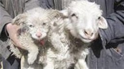 عکس : گوسفندی که توله سگ بدنیا آورد