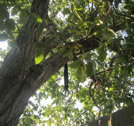 جوان ۲۴ ساله خودش را از درخت گردو حلق آویز کرد + تصاویر