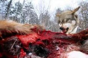 مرگ چوپان ۶۰ ساله بخاطر حمله گرگ در آمل + عکس