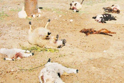 حمله گرگ و مرگ چوپان