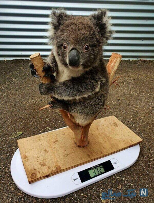 وزن کردن کوالا