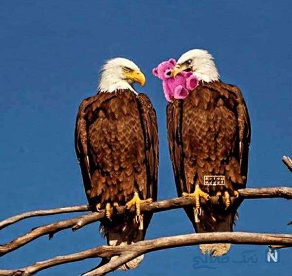 وضعیت عقاب ها در ولنتاین