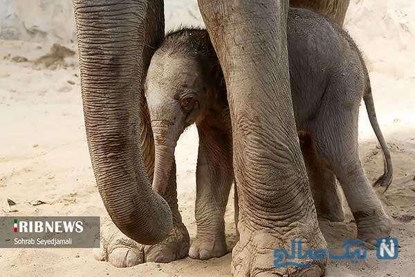 تولد اولین فیل ایرانی