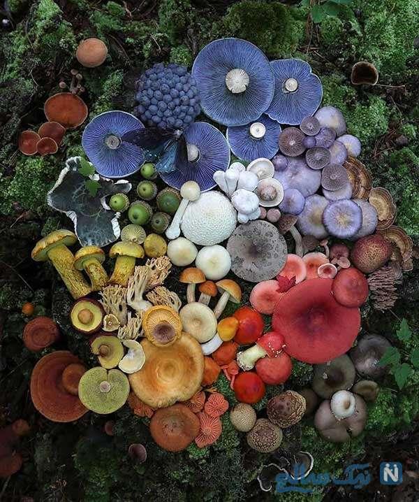 قارچ های رنگی