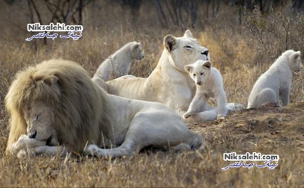 مدلی که زندگی حیوان رو به انقراض را نجات داد +عکس