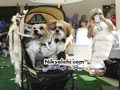 عروسی باشکوه و مجلل برای سگ های میلیونر+ عکس واقعی است