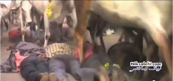 له شدن زیر سم گاوها برای استجابت دعا +عکس