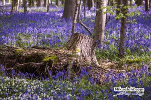 جنگل آبی بلژیک منظره ای واقعی شبیه صحنه فیلم های افسانه پریان