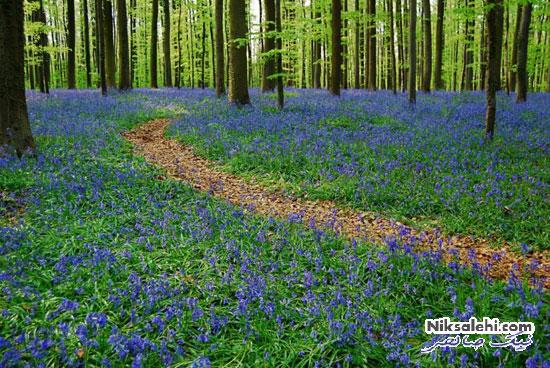 جنگل آبی بلژیک