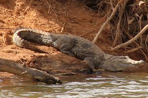 زندگی مسالمت آمیز انسان و تمساح در یکی از دهکده های آفریقایی