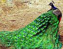 داستان دشمن طاووس