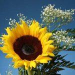داستان گل آفتابگردان عاشق , عاشقانه و خواندنی وکوتاه