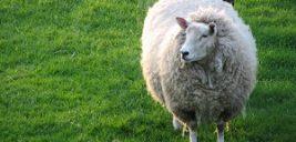 داستان آموزنده گوسفند صدقهای
