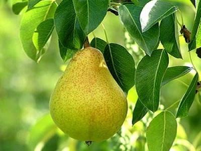 داستان درخت گلابی
