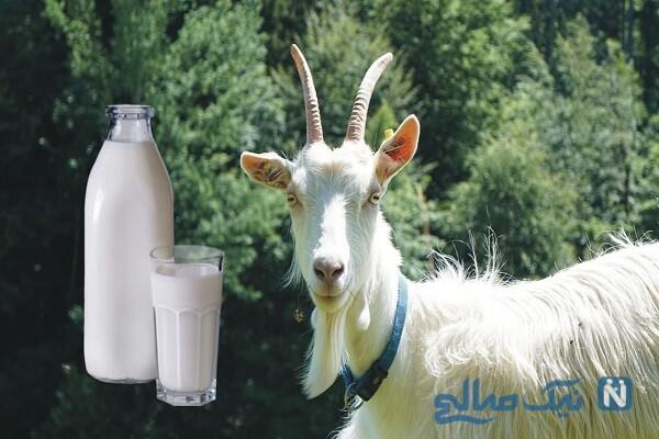 شیر بز مقوی و مفید برای کم خونی!