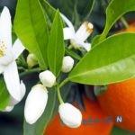 خواص و فواید نارنج