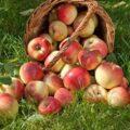 چند نوع سیب داریم و کاربرد هرکدام چیست