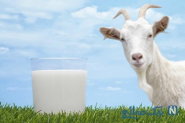 شیر بز در مقابل شیر گاو: کدام یک برای شما بهتر است؟