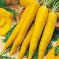 خواص زردک(هویج ایرانی) در طب سنتی!