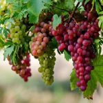 با خواص بی شمار انگور آشنا شوید!