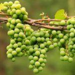 غوره میوه سبز رنگ نارس انگور با خاصیت های فوق العاده!