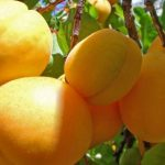 زردآلو خشک شده چه ارزش های غذایی برای بدن دارد؟!