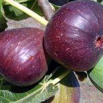 میوه انجیر و خاصیت های فوق العاده ی آن برای سلامتی!