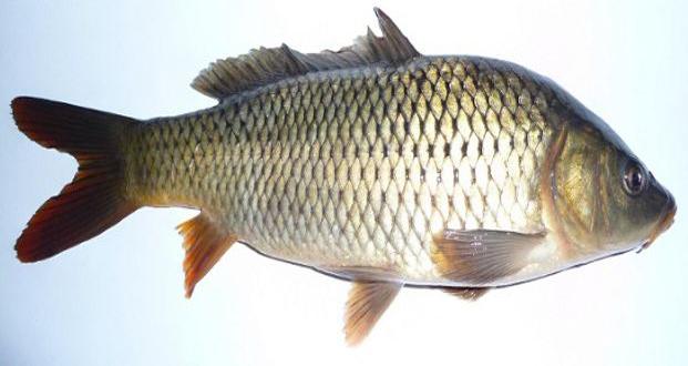 خاصیت های گوشت ماهی