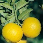 میوه لیمو شیرین و چهارده خاصیت اعجاب انگیز آن!