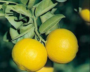 میوه لیمو شیرین
