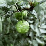 خواص درمانی میوه بهاری گوجه سبز!