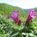 خواص گل گاوزبان این گیاه خوشمزه چیست؟!