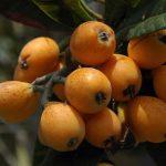 خاصیت های میوه ازگیل برای حفظ سلامتی بدن!