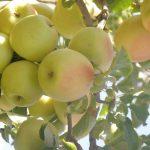فایده های سیب گلاب از میوه های خوشمزه تابستانی!