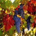 خواص میوه انگور برای درمان بیماری قلبی تا سنگ صفرا