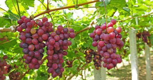 مصرف انگور