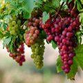 منع مصرف انگور برای این افراد