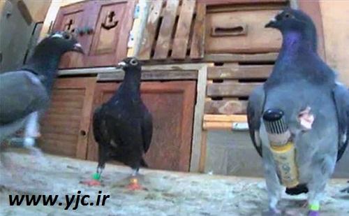 کبوترهای عجیب قاچاقچی +عکس