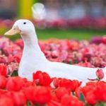 جشنواره گل های لاله در شهر زیبای اراک!