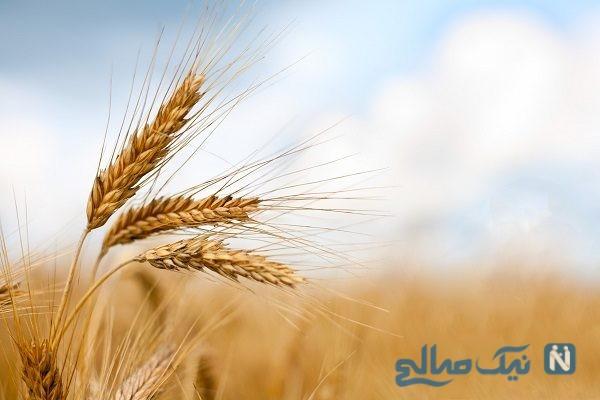 هم از گندم ری جا مانده هم از خرمای بغداد